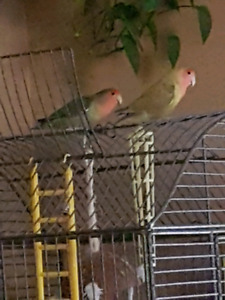 Male and female love birds with steel cage