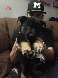 Black German Shepherd Puppies.