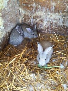 3weeks old New Zealand rabbits for sale