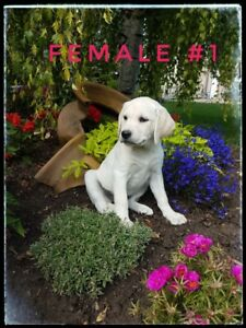 Lab Puppies | Kijiji in Alberta  - Buy, Sell & Save with Canada's #1