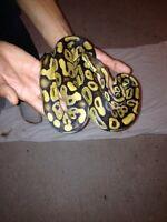 Male pastel ball python