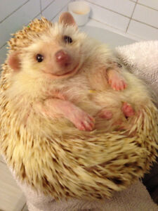 Hedgehogs need a home to call their own