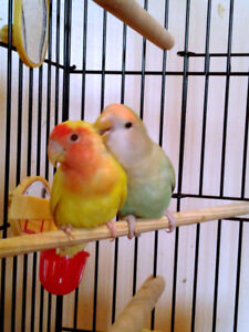 Pair of Lovebirds with Cage, Toys, and Food
