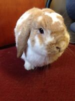 Holland Lop Bunny for Sale!