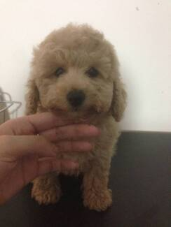Toy poodle puppies Sydney City Inner Sydney Preview