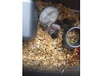 8 Dwarf Baby Hamsters
