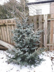 Free tree for a deserving family