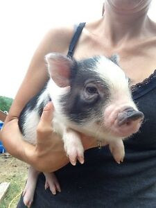 Mini Pet Pigs (Not The fictional Micro Pig)