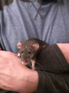 Female Dumbo Rat with a cage