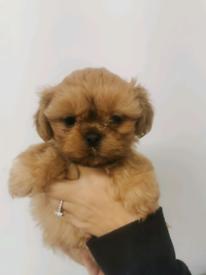 Teddy bear pups for sale