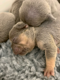 Lilac tan french bulldog pups for sale