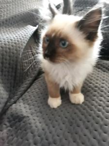 Ragdoll kitten purebred