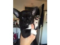 Beautiful black and white pedigree chihuahua puppy