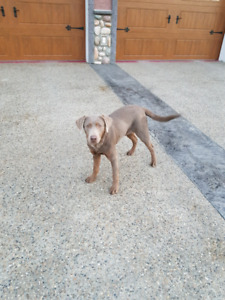 6 month old silver Lab