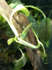 Phelsuma laticauda, gold dust day gecko