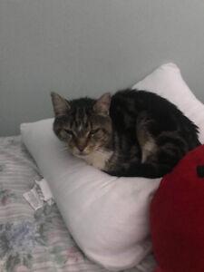 Chat mâle trouvé - Sherbrooke Nord
