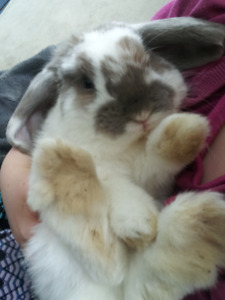 Hollan Lop Bunny needs a new home