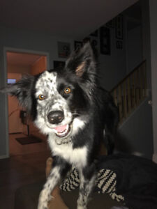 Looking for a unique border collie