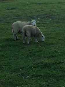 8 spring lambs ready to go