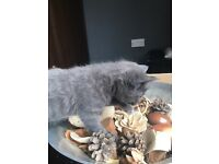 Gorgeous Grey kitttens