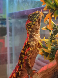 Male Uromastyx