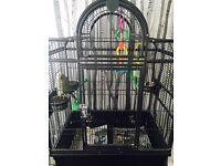 Ring neck parrot female