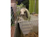 Mini lop brothers and cage