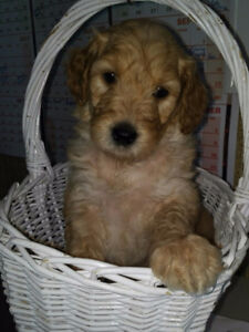 Double Doodle New Litter arriving Friday! 4 YR Health Warranty!