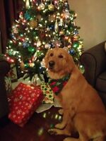 Golden Retriever looking for a new home