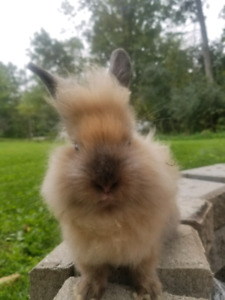 Last Lionhead - female double maned