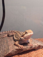 Bearded dragon, approx 9 months old