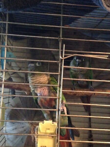 Two breeding Conures and cage