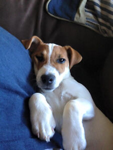 Jack Russell Puppies London Ontario image 6