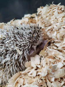 Hedgehogs for sale