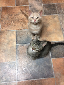 KITTENS TO GIVE AWAY TO INDOOR HOMES