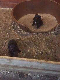 Cocker spaniel pups