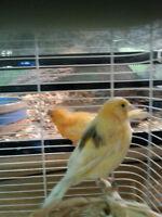 plusieurs canaries