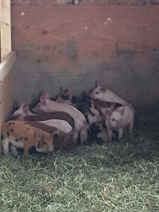 Fall Special*  Piglets For Sale
