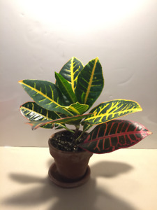 Beautiful Young Croton Plant - Easy Care, Colourful Leaves