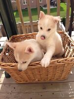 ADORABLE PUPPIES FOR SALE - 2 LEFT