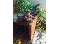 Baby bearded dragon and new vivarium