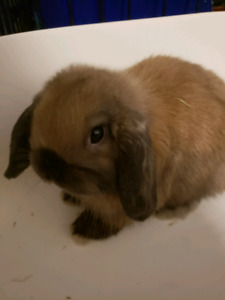 Baby Black Tort Holland Lop
