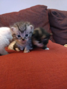 Kittens for sale 400.00