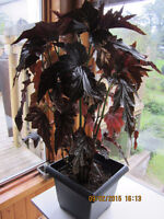 Elephant Ears Plant (Angel Wing Begonia)