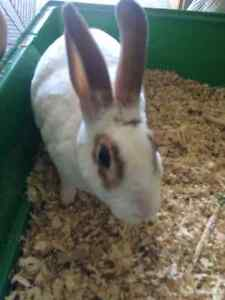 2 year old bunny for sale