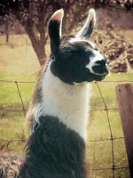 Intact Male Llama For Sale