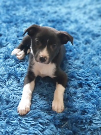 Miniature jack Russell X Border Collie puppies