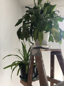 2 house plants in pots Water lily and Spider plant :) UNKILABLE!