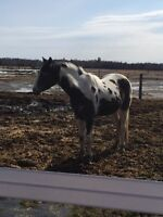 Project horse!! Black and white paint mare