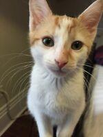 Fixed male kitten for sale